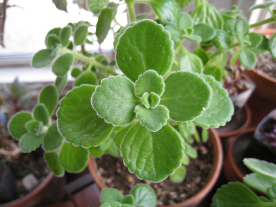 روش کاشت و نگهداری پلکترانتوس آمبوینیکاس